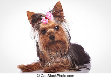 curious little yorkshire terrier puppy dog lying down