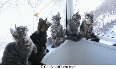 Slowmotion footage of A Tabby Maine Coon kittens to play at a window