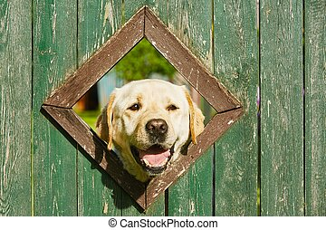 Curious dog is looking from window in wooden fence