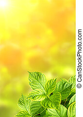 Summer green leaves of hydrangea on green background