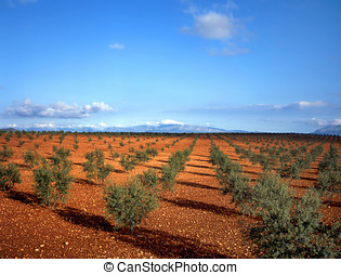 Olive trees in Spain, at background small mountains