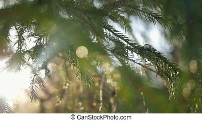 Slow motion of fir branches on magic sun background in...