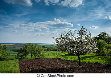 Agricultural landscape with blooming apple trees and...