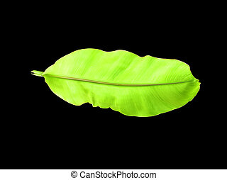 banana Leaves isolated on a black background.