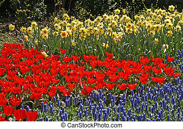 Tulip flower bed with Hyacinths (Muscari) and Daffodils