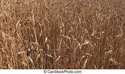 barley field - swinging golden barley corn ear field....