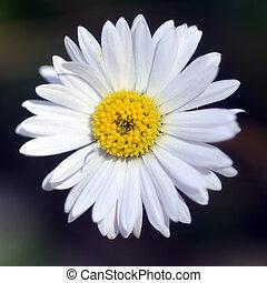 White daisy.