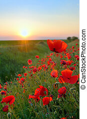 Poppy Flowers Papaver rhoeas in Spring against the sunset...
