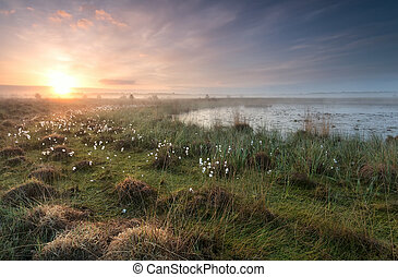 gold sunrise over swamp with cottongrass, Netherlands