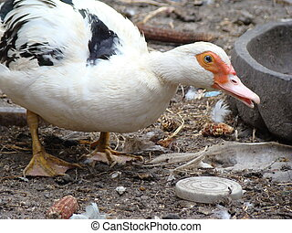 Muscovy duck mute or duck,common type pet birds
