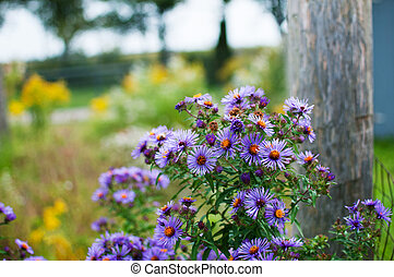 purple asters growing wild in a field