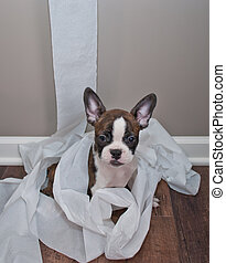 The Cat Did It! - Silly French Bulldog puppy sitting in a...