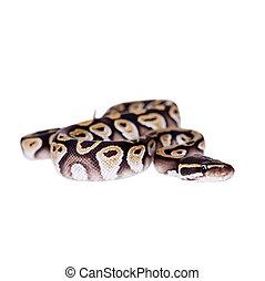 Royal Python, or Ball Python on white - Royal Python, or...