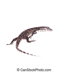 Timor Monitor Lizard, Varanus timorensis, on white - Timor...