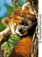 RED PANDA - Cuddly cute Red Panda