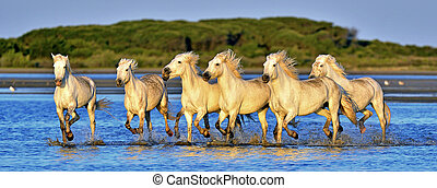 Herd of White Camargue horses running through water - Herd...