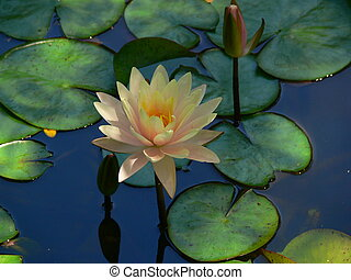 Waterlily 2 - A closeup of a pink waterlily surrounded by...