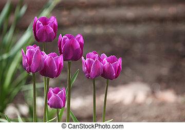 tulipe,