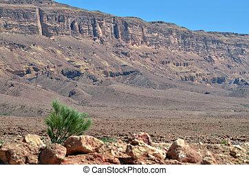 Makhtesh Ramon - Ramon Crater - Israel - Young Acacia tree...