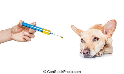 sick ill dog - chihuahua dog with headache and sick , ill or...
