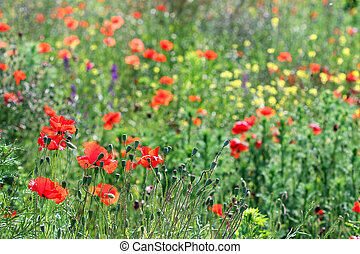 poppy flowers meadow summer season
