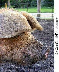 cerdo, cabeza