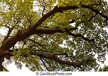 roble, árbol,