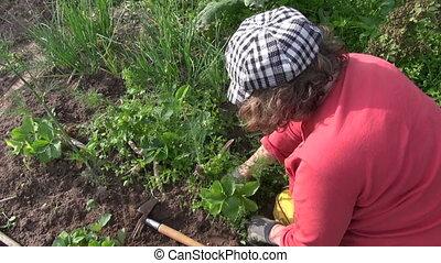 weeding strawberry plants - Farmer woman weeding strawberry...