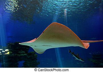 Sting ray swim underwater in gulf of Aqaba Eilat, Israel.