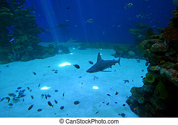 Reef sharks swim underwater in gulf of Aqaba Eilat, Israel.