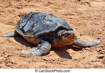 Green sea turtle in Eilat, Israel.
