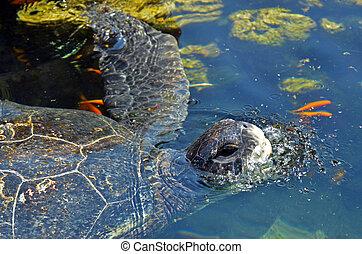 Green sea turtle in the in Eilat, Israel