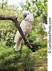 Moluccan Cockatoo - A salmon colored Moluccan Cockatoo...