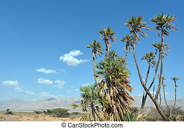 Doum Palm near Eilat Israel - Doum Palm near Eilat, Israel....