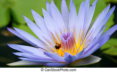 purple water flower - a purple flower on the surface of the...