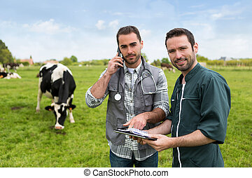 Farmer and veterinary working together in a masture with...