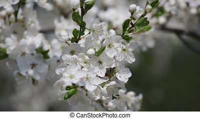 Branch of the blossoming cherry close up
