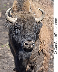 European Bison Bison bonasus - Closeup portrait European...