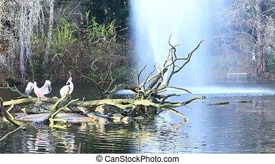 pelican - fauna