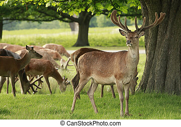 Red Deer herd - Red Deer stag and a herd of doe grazing in a...
