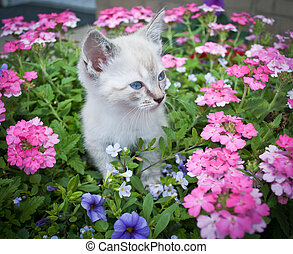 Pretty Kitty - Super cute Siamese kitten standing in a...