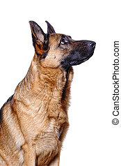 german shepard background - young german shepard background...