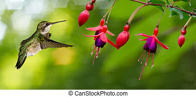 Hummingbird feeding on Flowers - Hummingbird archilochus...