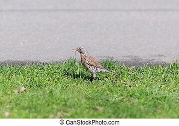 snowbird beside the road - snowbird on the grass beside the...