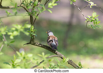 fieldfare in spring - fieldfare on a branch of spring tree