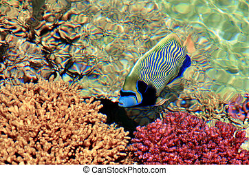 Tropical fish swim in Coral Beach Nature Reserve in Eilat,...