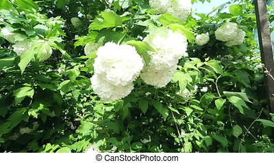 Viburnum tree brunch with flowers in the wind