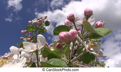 fresh apple tree buds and blossoms in spring wind