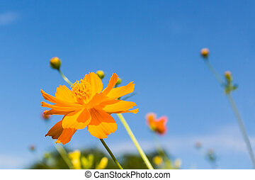 Yellow Cosmos flowers - Csulphureus Cav or Sulfur Cosmos...