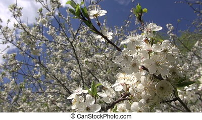 beautiful spring plum tree blossoms on sky background